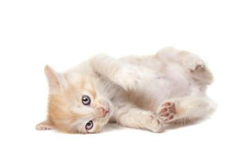 newborn Kurilian Bobtail kitten