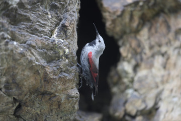 Wallcreeper, Tichodroma muraria, Bulgaria, July 2009
