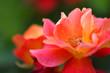 Beautiful pink yellow rose in the garden - Macro shot