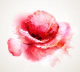 The flowering red poppy - 56098633