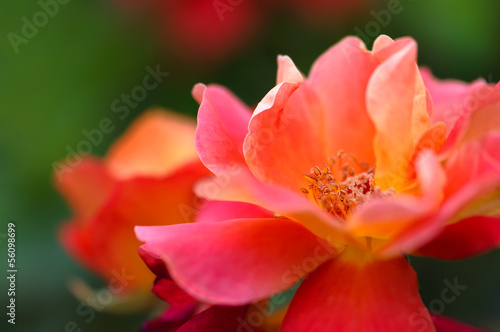 Beautiful pink yellow rose in the garden - Macro shot