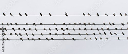 Flock swallows resting on wire