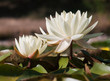 White water lily in the garden pond