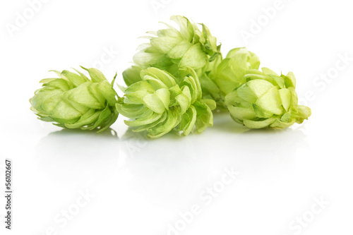 hop plant isolated on white background