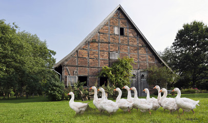 Gänse vor altem Bauernhaus