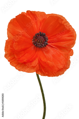 Foto op Canvas Poppy Single poppy isolated on white background.