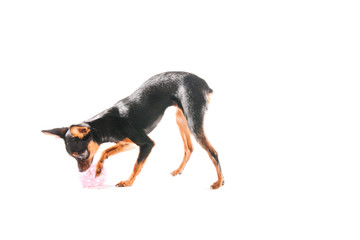 Miniature Chihuahua in front of a white background