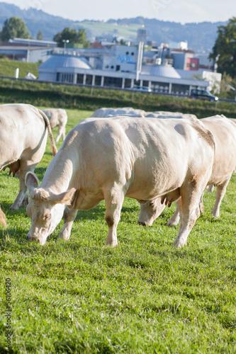 Charolais Kühe