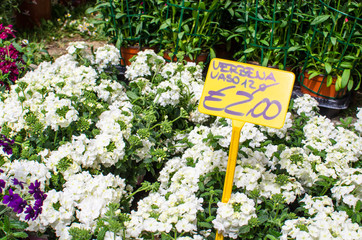 White Verbena plants for sale with price tag