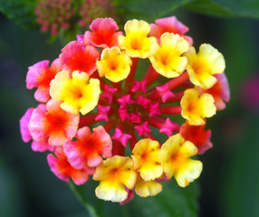 lantana red yellow flower