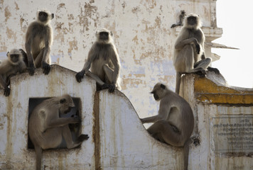 India, Rajasthan, Pushkar, indian monkeys