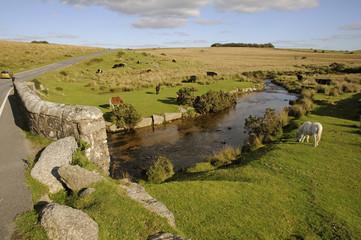 Dartmoor ponies & cattle grazing on the moor