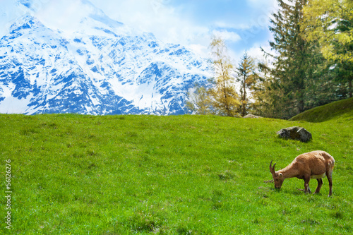 Ibex on a mountain pasture