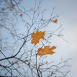 Yellow autumn fall leaves hanging on leafless tree.