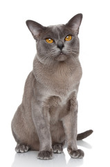 Burmese cat portrait