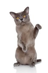 Burmese cat posing
