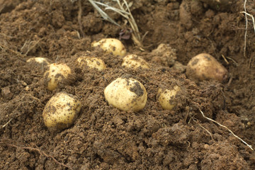 Some ripe young potatoes tubers in ground closeup