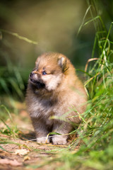 Small Pomeranian puppy in grass