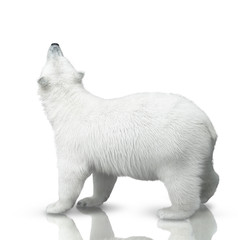 small polar bear
