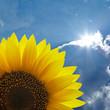 Sonnenblume vor bewölktem Himmel