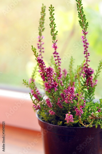 Beautiful purple heather in a pot