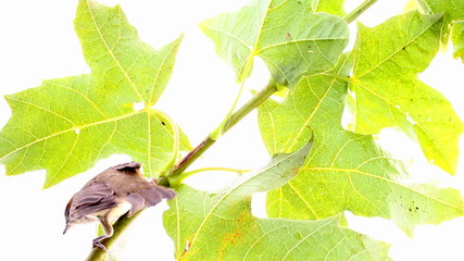 bird on a maple (Black-cap)