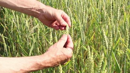 Zwei Hände greifen Getreidehalme
