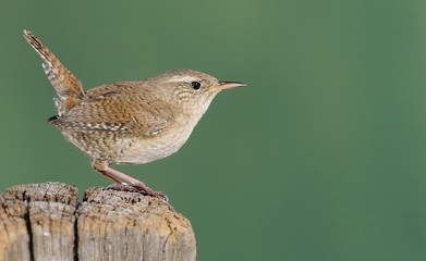 Winter wren on green background