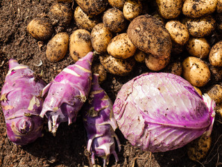 freshly harvested potatoes, cabbage and kohlrabi