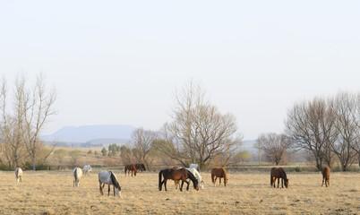 BASOTHO PONIES ng winter pasture, Umzimkulu,kwazulu Natal