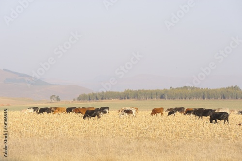 Nguni cattle graze on maize stubble, kwazulu Natal