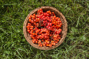 red rowan berry in wicker plate on garden grass