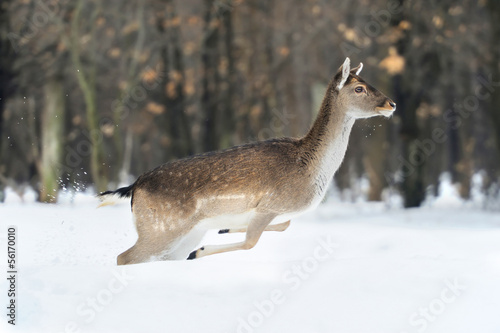 Wild deer runs along the edge of the forest