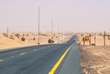 Camel on a desert road