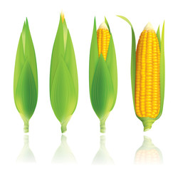 Corn vector illustration isolated on white background.