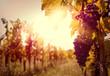 Leinwanddruck Bild - Vineyard at sunset in autumn harvest.