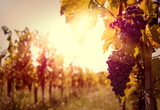 Fototapety Vineyard at sunset in autumn harvest.