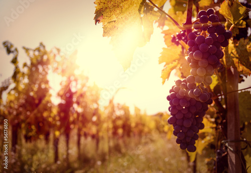 Vineyard at sunset in autumn harvest.