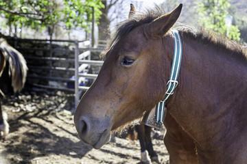 Purebred Spanish Horse