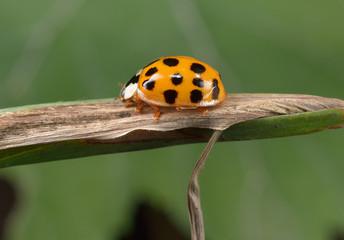 kleiner orangener Marienkäfer
