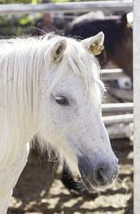 Spanish thoroughbred horse