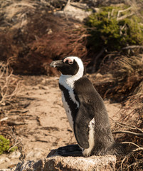 Single small baby penguin at Bettys Bay