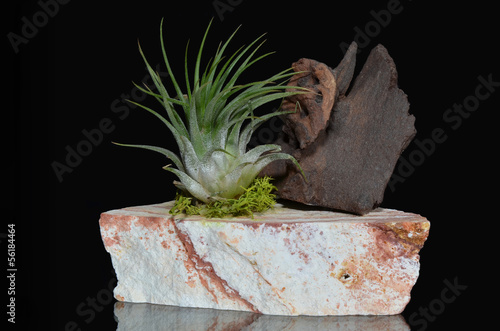 Tillandsia plant on the rock with piece of wood