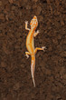 canvas print picture - gecko