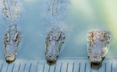 Three head of crocodile farm on the waterfront