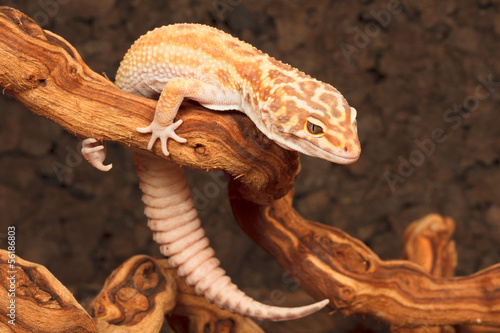 canvas print picture Gecko