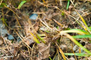草むらの蛙