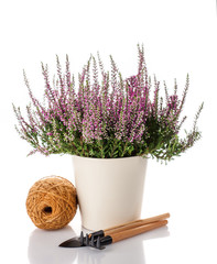 Heather flowers in a pot and garden tools. Gardening.