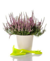 Heather flowers in a pot and garden tools. Autumn gardening