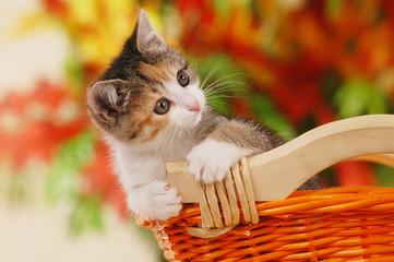 Kätzchen im Korb - kitten in basket autumn leaves